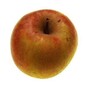 Apfel Boskoop